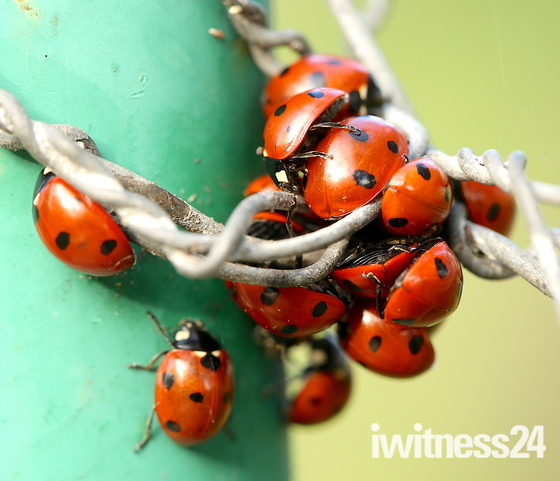 A loveliness of Lady Birds.