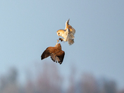Kestrel steals Barn Owl meal