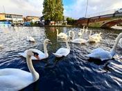Swans of Wroxham Broads