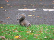 A grey squirrel spotted by the footpath/ cyclepath between Manor Gardens and Exmouth Sea-front