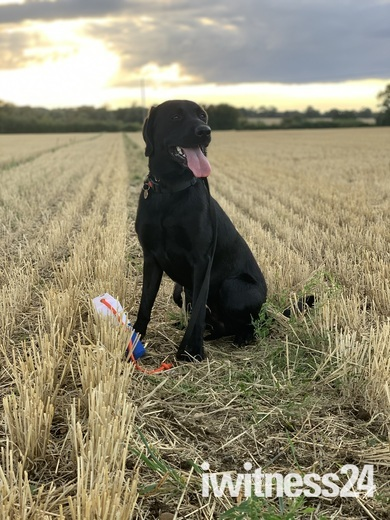 Gundog in training