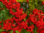 BRIGHT BERRIES IN THE HEDGEROW