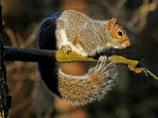 Squirrel in the Autumn sunshine.