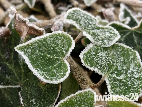 Frost on the hedge