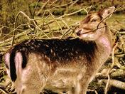Deer .. fallow deer