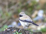 Winter Rarity visitor