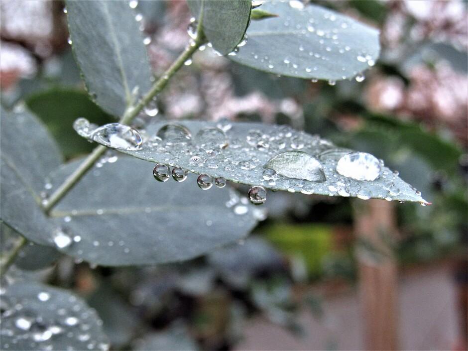 Prachtige regendruppels als glazen bolletjes hangen aan- en liggen op de eucalyptus