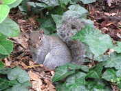 A grey squirrel spotted by the bushes between Manor Gardens and the Bath House