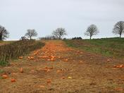 Abandoned pumpkins, near Topsham