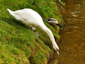 SWAN HAVING A DRINK ON THE RIVER WENSUM AT FAKENHAM