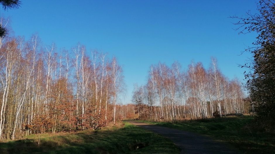 Berken tegen blauwe lucht