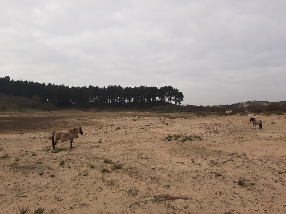 vanmiddag in de Kennemerduinen, Bloemendaal. Paard, duinen en wat bewolking