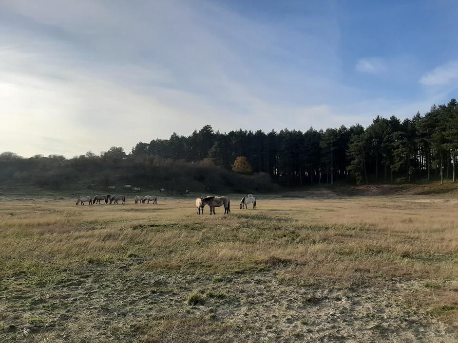 vanmiddag in de Kennemerduinen Bloemendaal.  kudde paarden,  opklaringen,  duinen