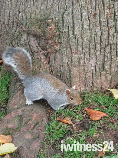 Grey squirrel sightings in Manor Gardens Exmouth