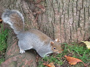 Grey squirrel sightings in Manor Gardens Exmouth