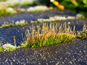 FROST MELTED OFF THE MOSS ON A WALL LEAVING WATER DROPLETS AT HEMPTON