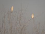 Cattle egrets in the fog