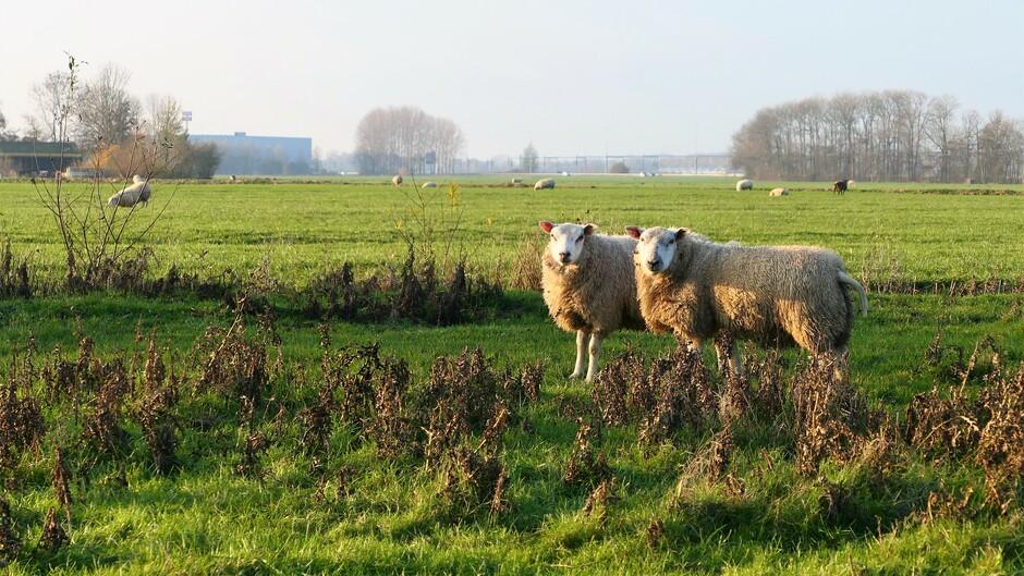 Nieuwsgierige schapen bij het Klompenpad