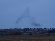 Starling murmurations over the Wash last week.