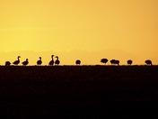 Geese on the skyline.
