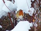 PROJ 52, SEASON CHANGE. WINTER. ROBIN IN THE SNOW