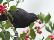 Blackbird & the Holly Berries.