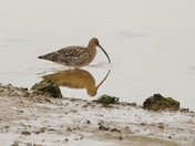 CURLEW ON THE SHORELINE AT WELLS