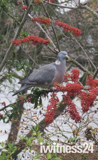Pigeon eating red berries