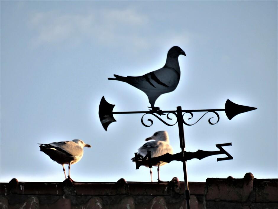Windwijzer duif en 2 meeuwen