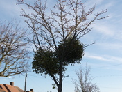 Mistletoe in Cranham
