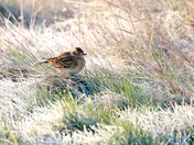 Skylark in the frost