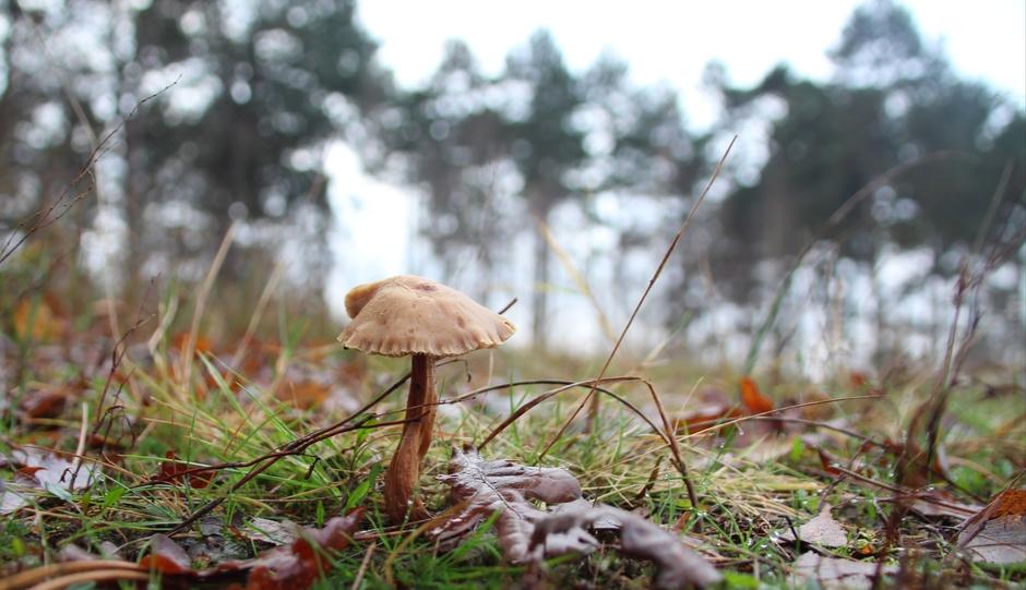 Einde van de herfst, de paddestoelen worden schaars