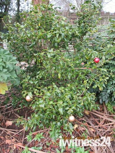Christmas baubles on a shrub, by a footpath