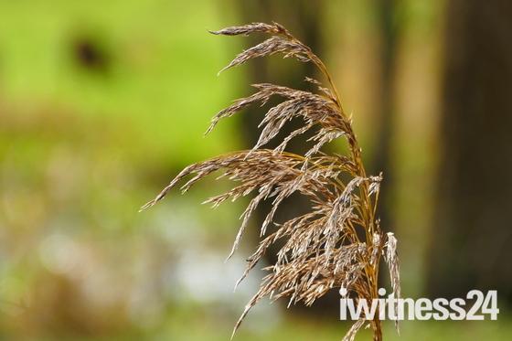 GRASS IN THE BREEZE AT HEMPTON
