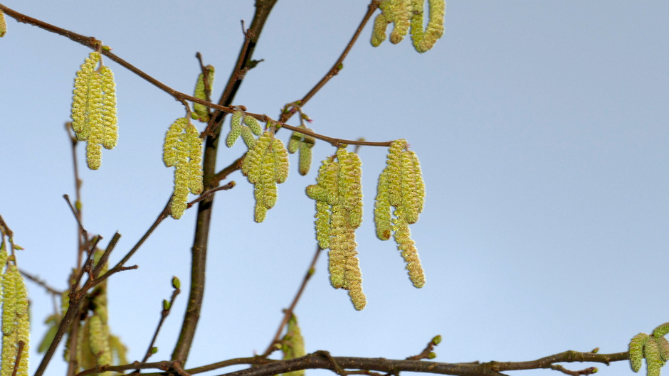 Hooikoortsstruik in bloei