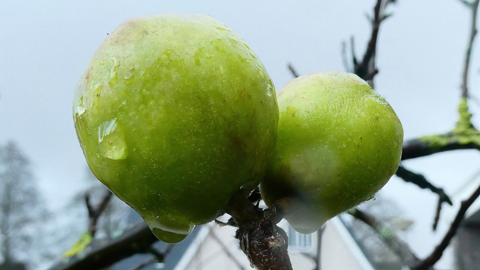 Kleine appeltjes in de regen