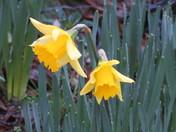 herald of spring