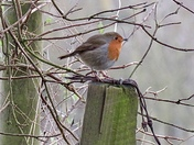 Robin on a cold frosty morning