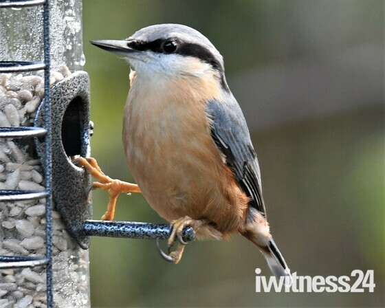 Hungry Nuthatch