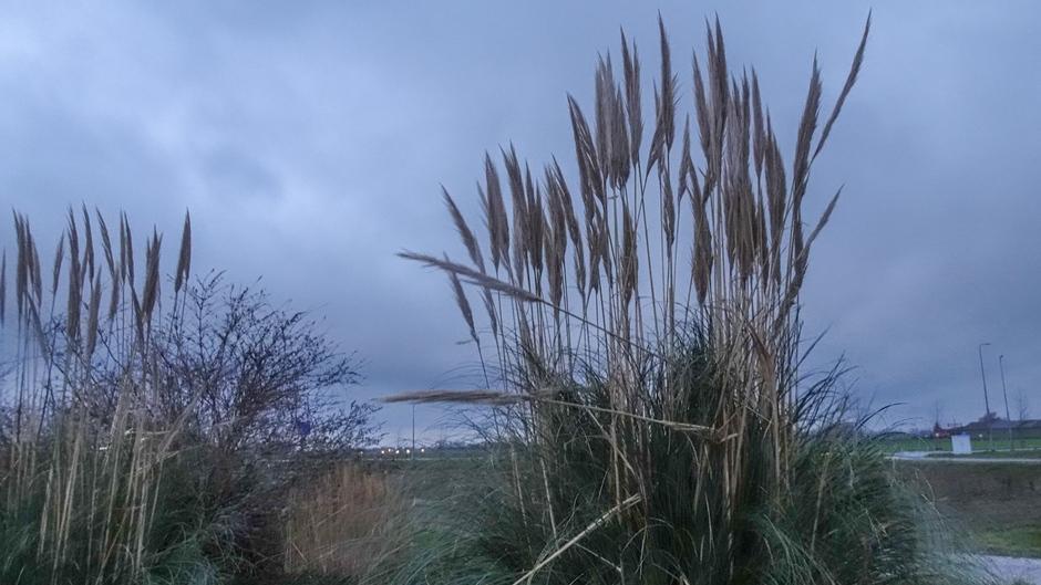 Siergras in een grijze lucht