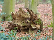 OLD TREE STUMP IN THE WOODS AT SANDRINGHAM