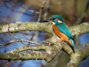 Kingfisher on New years eve