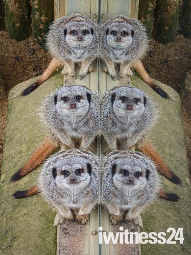 Meerkat Reflection Africa Alive Zoo