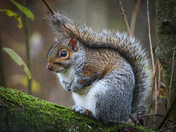 Grey Squirrel posing for the camera