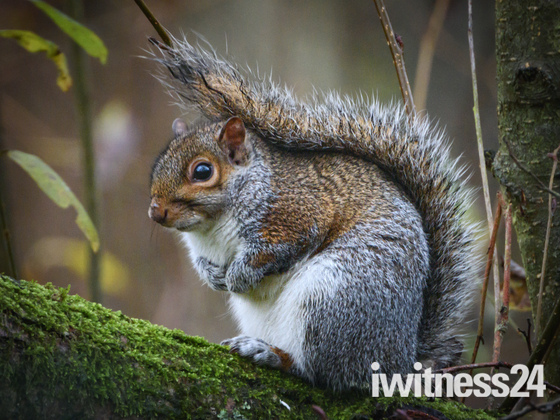 Grey Squirrel posing for the camera