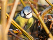 Blue tit in the frost.