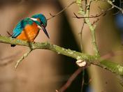 Kingfishers opn the bure