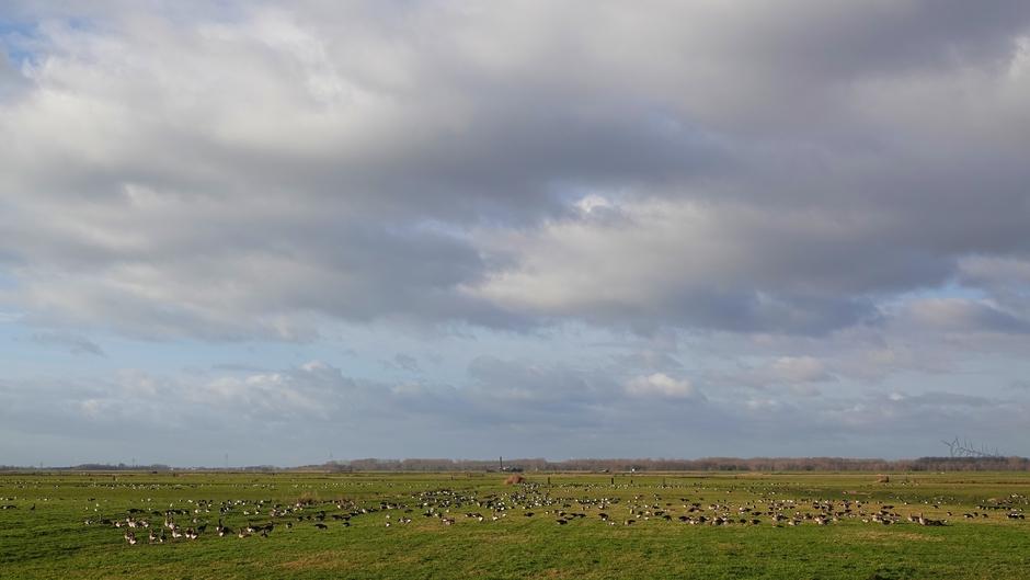 Veel ganzen op het land