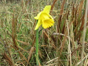 Daffodil in bloom