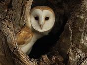 Beautiful Barn Owl in his winter home.